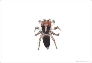 4 x male velutinus above 255 B