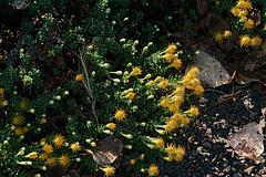 J20171012-0023—Ericameria cuneata—RPBG—DxO (John Rusk) Tags: dxofujivelvia50preset taxonomy:kingdom=plantae plantae taxonomy:subkingdom=tracheophyta tracheophyta taxonomy:phylum=magnoliophyta magnoliophyta taxonomy:class=magnoliopsida magnoliopsida taxonomy:order=asterales asterales taxonomy:family=asteraceae asteraceae taxonomy:tribe=astereae astereae taxonomy:genus=ericameria ericameria taxonomy:species=cuneata taxonomy:binomial=ericameriacuneata ericameriacuneata wedgeleafgoldenbush taxonomy:common=wedgeleafgoldenbush ebparksok dxofilmpack
