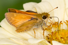 Tawny-edged Skipper (tresed47) Tags: 2017 201708aug 20170826homemacro august butterflies canon7d chestercounty content folder home insects macro pennsylvania peterscamera petersphotos places season skipper summer takenby tawnyedgedskipper technical us