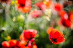 Happy Nature (NathalieSt) Tags: 003nature coquelicot fleur coquelicots fleurs flower flowers pavotpoppy poppies poppy