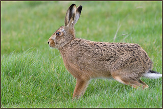 Brown Hare (image 1 of 2)
