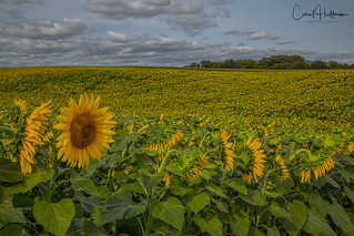 In a Sea of Sunflowers...