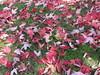 ** Les feuilles mortes ** (Impatience_1 (peu...ou moins présente...)) Tags: feuille leaf couleur color automne fall autumn m impatience rose pink saveearth supershot coth coth5 sunrays5