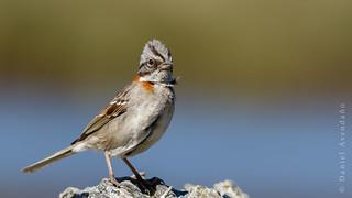 Zonotrichia capensis | Rufous-collared Sparrow | Copetón - explored