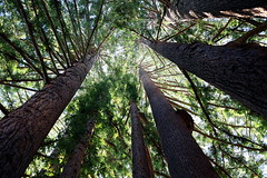 old growth (JonathanCohen) Tags: redwood tree campus grove ucsc natureycrap forest california university