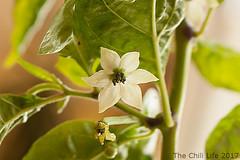 capsicum-baccatum-flower-reaper-growing-indoors (TheChili.Life) Tags: flower chili capsicum chinense chilli pepper hot carolina reaper