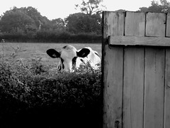 Black and White Project (ART NAHPRO) Tags: cow cattle heifer shed hedge sussex