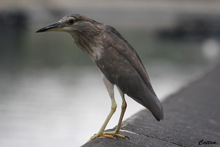 Black crowned Night heron - Hong Kong