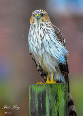 Cooper in the Rain (dbking2162) Tags: birds bird birdofprey nature nationalgeographic wildlife rain raptor indiana post fence