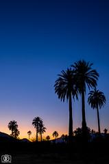 Palmas por la tarde (Takk Heima Fotografia) Tags: palmachilena canon chile fotografia instagram canon6dmk2 palmeria cocalan conaf