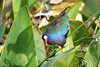 PURPLE GALLINULE ON ALLIGATOR FLAG PLANT (concep1941) Tags: birds rails freshwatermarshes swamps