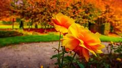 yellow - 3948 (YᗩSᗰIᘉᗴ HᗴᘉS +10 000 000 thx❀) Tags: yellow orange autumn automne season flower flora fleur annevoie jardinsdannevoie belgium belgique hensyasmine 2ofakind crazytuesdaytheme 7dwf