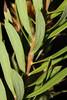 Daphne gnidium L. (umberto.ferrando1974) Tags: daphnegnidium dittinella thymelaeaceae flora liguria floraligure fiore fiori macchiamediterranea dafne gnidio