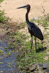 2016 10 15_Goliath Heron-1 (Jonnersace) Tags: africa africanbirds krugernationalpark goliathheron ardeagoliath patient waiter bill beak legs bird sabieriver canon safari