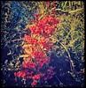 (BurstsofSingleMindedness) Tags: heteromelesarbutifolia toyon rosales red california