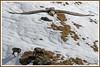 Gypaète chamois 171026-01-P (paul.vetter) Tags: oiseau ornithologie ornithology faune animal bird gypaètebarbu gypaetusbarbatus bartgeier quebrantahuesos beardedvulture vautour rapace