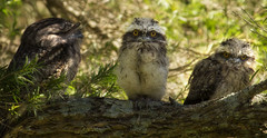 Now You See Me! (williams.darrell53) Tags: nature frogmouth tawny australia canon darrell williams
