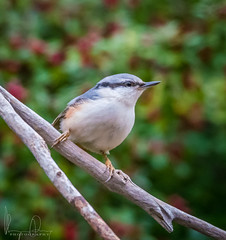 #Nuthatch #Sitta #europaea (m3dborg) Tags: nuthatch sitta europaea bird birds animal animals nature wildlife outdoor outdoors natural wilderness branch branches leaf leaves