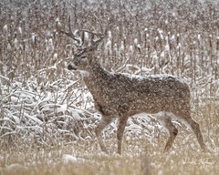 Big Buck In Snow Storm (Explored) (dcstep) Tags: mg5397dxo21 snow buck bigbuck whitetaildeer whitetailbuck antlers rack walking cattails cherrycreekstatepark colorado usa aurora allrightsreserved copyright2017davidcstephens dxophotolab dxoprimenoisereduction getty explore explored