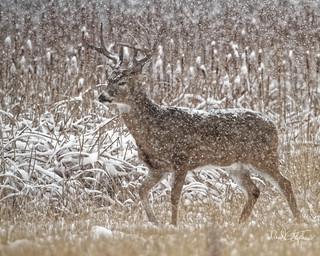 Big Buck In Snow Storm (Explored)