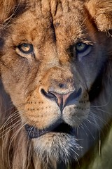 portrait de lion (rondoudou87) Tags: pentax k1 parc zoo reynou lion nature natur portrait eyes yeux regard close closer dof smcpda300mmf40edifsdm sauvage wildlife wild