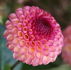 Dahlia (LuckyMeyer) Tags: flower fleur blume blüte pflanze makro rosa pink pastell green garden summer