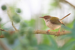 Common tailorbird (EXPLORED)