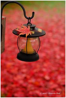 The Last Fall Leaf? - Calderwood XP7305e