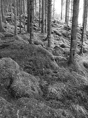 Stammer & mose -|- Trunks & moss (erlingsi) Tags: bnw trunks stammer mose moss volda skog wood svarthvitt sbvarthvitt blackandwhite monochrome