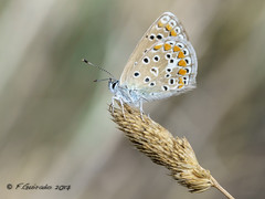 Fragile (Fernando Guirado) Tags: 2017 alfés lleida macro closeup fragile butterfly mariposa papillon papallona macrofotografia macrophoto macrophotography macrofoto sony 90mmfe 90mm sonyfe90mm lycaenidae blur bokeh background insect insecte insecto nex6 nex
