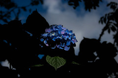 Blue Flowers (daniel_lower_photos) Tags: photography flower blue blueflowers nature colourful natural amatuerphotography beautiful beauty amaturephotography falmouth cornwall shadow canon canon20d