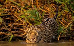 late afternoon (tsd17) Tags: wildlife bigcat jaguar pantanal brazil 7dmk11 ngc fantasticwildlife