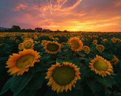 Hyperion's Legacy (Willie Huang Photo) Tags: sunflowers bayarea flowers sunset summer monsoon light landscape california northerncalifornia vacaville gilroy davis woodland farm scenic