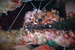 Banded Cleaner Shrimp (Stenopus hispidis) (sarah.handebeaux) Tags: north raja ampat indonesia paradise tropical reef colour