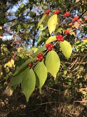 Amur Honeysuckle, Virginia (Dave Govoni) Tags: amurhoneysuckle loniceramaackii plant princewilliamcounty taxonomy:binomial=loniceramaackii taxonomy:common=amurhoneysuckle usa va virginia nonnative