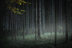 The Shining (matthiasstiefel) Tags: forest wald trees bäume sinister darkness fog haze nebel dunst bavaria germany bayern deutschland unheimlich haloween