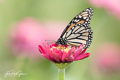 """""""Masterfully Orchestrated"""" A monarch butterfly in Helen, Georgia - Judy Royal Glenn Photography (Judy Royal Glenn) Tags: 2017 august august9 danny georgia helen farm insect insects butterfly butterflyphotos butterflies monarchbutterflies monarchmigration mexico monarch helengeorgia lord creation heavenlyfather bug bugs"""