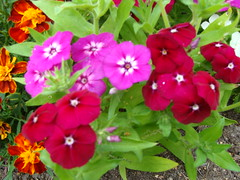 00015 (Toivo Miettinen) Tags: kukkapenkki kukat kotipiha kukka kesä kasvi