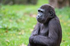 Jamila (Mel.Rick) Tags: natur tiere säugetiere zoo zooduisburg primaten gorilla trockennasenaffen affen jamila animal mammals