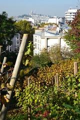 Parisian vines (Jeanne Menjoulet) Tags: buttebergeyre paris parisian vines vignes montmartre