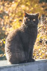 Autumn Bear (bigbluewolf) Tags: british shorthair britishshorthair cat brown bear autumn fall leaves nikon d7000 sigma 18250 18250mm pet
