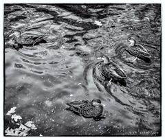 Duck at Heart Shaped Pond (kenmojr) Tags: 2017 fowl atlantic autumn avian birds canada ducks fall heartshapedpond hemlockravinepark maritimes novascotia october pond water wet bw kenrmorris kenrmorrisjr kenmo rockingham princesslodge bwworldwithnikon