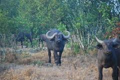 DSC_0035 (graceesimp) Tags: olpejeta capebuffalo buffalo