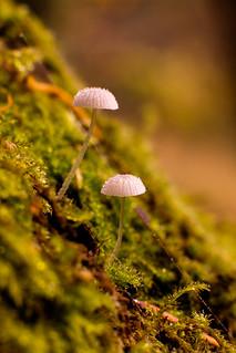 Microshrooms