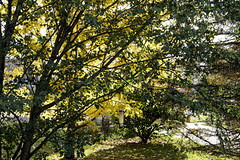 Shadowplay (joeldinda) Tags: panasonic lumixdmclx10 dmclx10 lx10 lumix 2017 autumn fall colors home mulliken potter lightandshadow shadowplay tree lawn drive driveway 3890 november