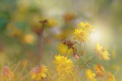 Golden Autumn.. (KissThePixel) Tags: autumn autumncolours autumnlight light beautifulday simplebeauty bokeh macro meadow garden nikondf sigma f14 flowers flower yellow yellowflower goldflower gold september septembersun 85mm