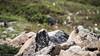Northern pika (JohannesLundberg) Tags: chukchipeninsulatundra asia arcticislands2017 pevek ochotonahyperborea ochotona location mammalia watch chukotkaautonomousokrug geology boulder eutheria lagomorpha expedition chaunskydistrict theria russia ochotonidae arktiskaöar2017 chukotskyavtonomnyokrug nördlichepfeifhase pa1104 northernpika sibiriskpiphare певе́к пээкин севернаяпищуха ча́унскийрайо́н чаанрайон чуко́тскийавтоно́мныйо́круг chukotskiy ru