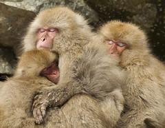 Japan. (richard.mcmanus.) Tags: japanesemacaque japan snowmonkeys yudanaka jigokudaniyaenkoen jigokudani primates monkeys animal wildlife gettyimages mcmanus