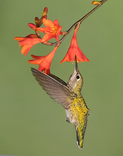 Anna's Hummbingbird
