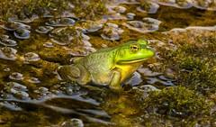 _U7A1527 (rpealit) Tags: scenery wildlife nature east hatcheryl alumni field hackettstown bullfrog